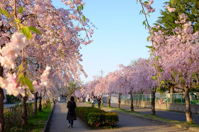 日中線記念自転車歩行者道(しだれ桜散歩道)