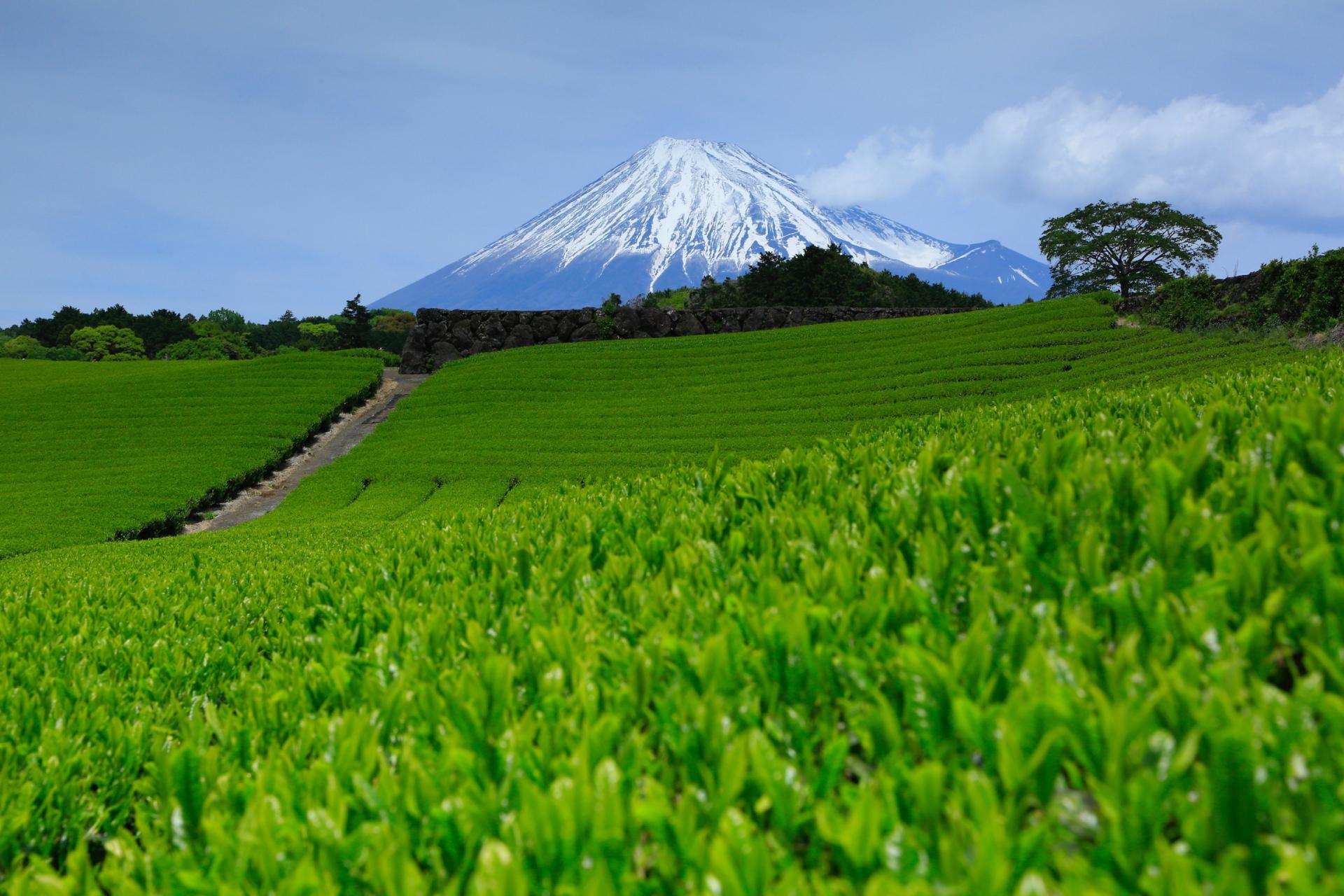静岡県茶畑と富士