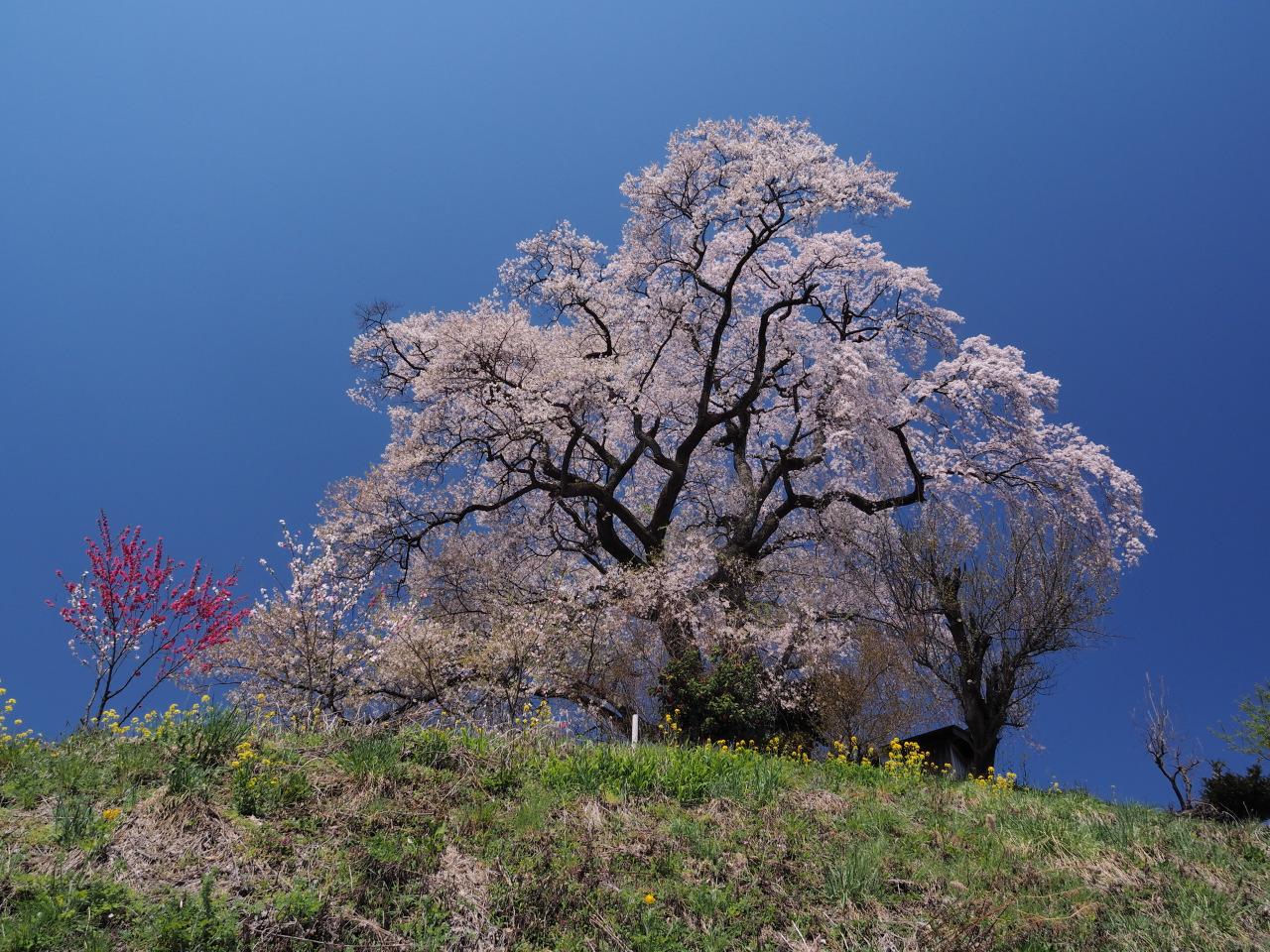 福島県一本桜