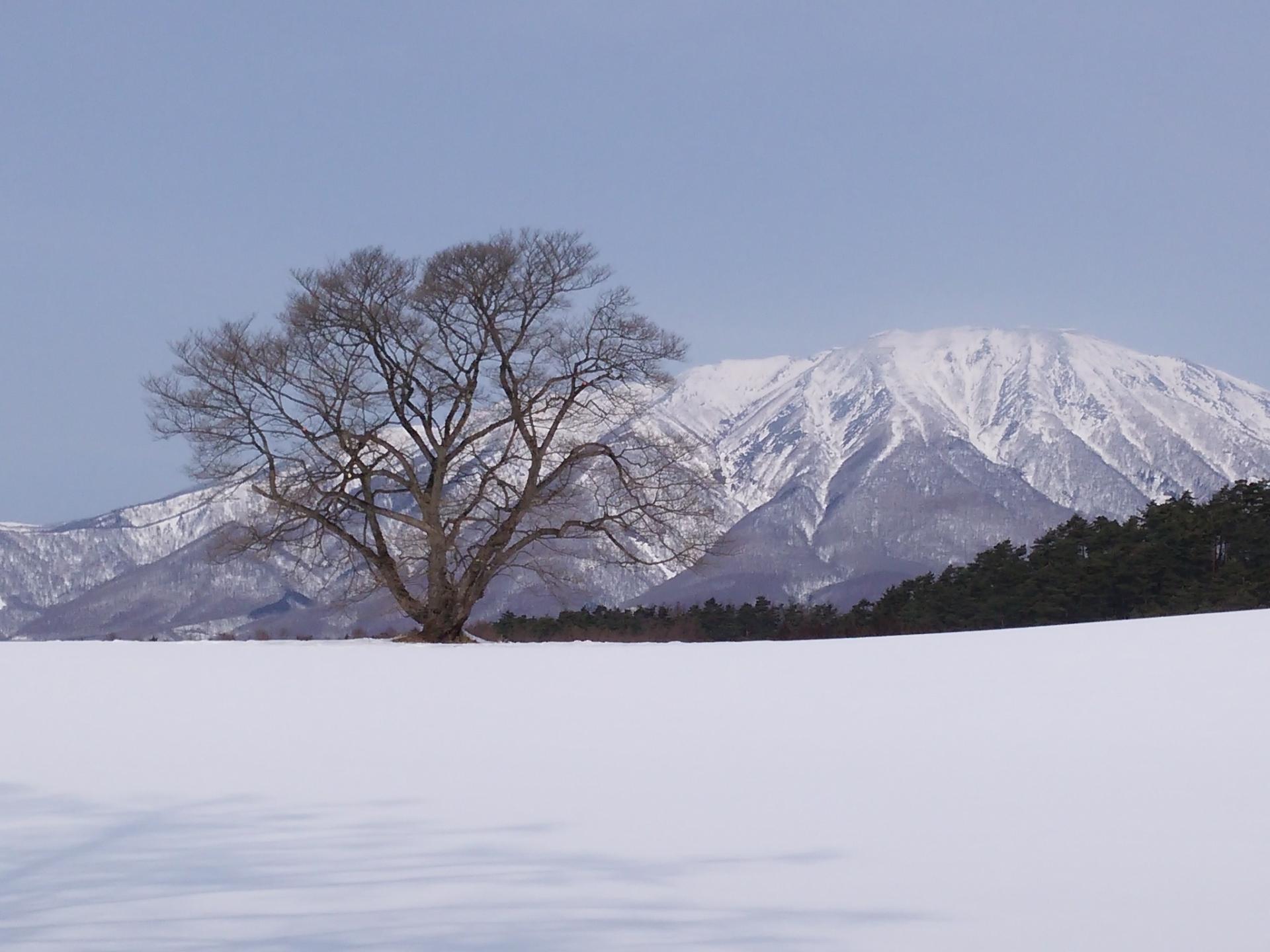 岩手県小岩井農場一本桜