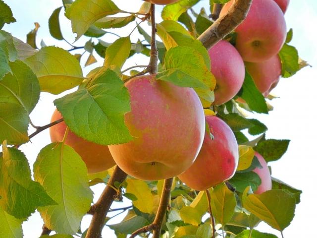青森県リンゴ