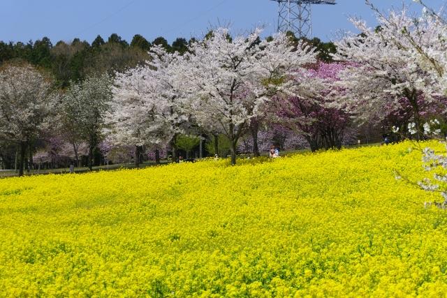 前橋 赤城南面千本桜